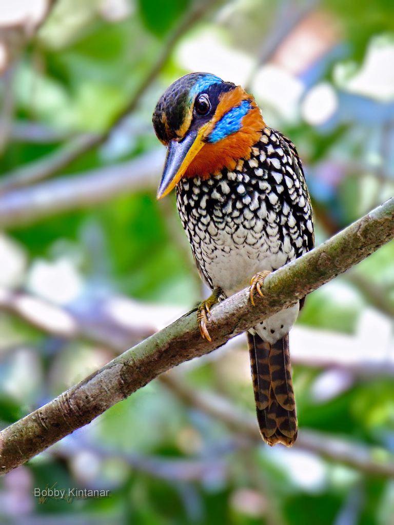 male Spotted Wood Kingfisher Actenoides lindsayi piskador kasay-kasay near manila philippines