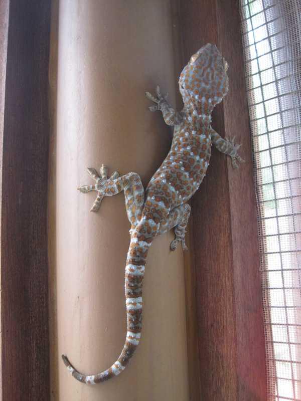 tokay gecko gekko lilok tanay rizal philippines