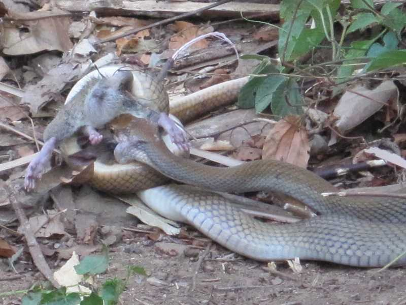 Philippine Rat Snake Coelognathus erythrurus manillensis eating a rat at Liloc Farm Tanay Rizal near Manila