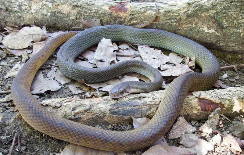 Coelognathus erythrurus manillensis Philippines Rat Snake Reddish Rat Snake