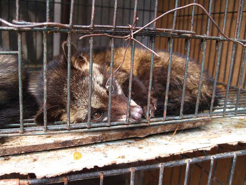 Asian Palm Civet Paradoxurus hermaphroditus caged for coffee production in indonesia surtr