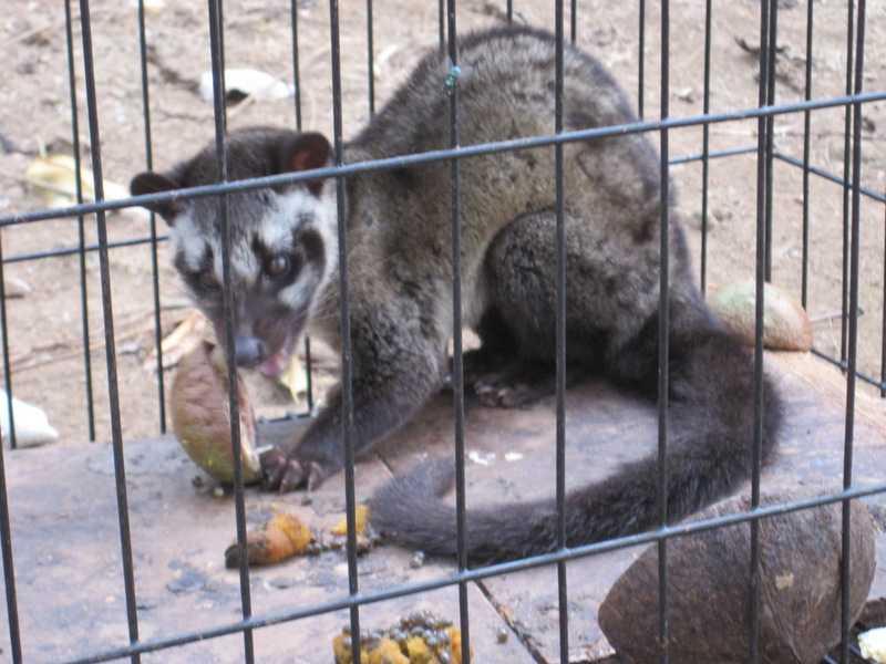 Asian Palm Civet Paradoxurus hermaphroditus Musang lilok tanay