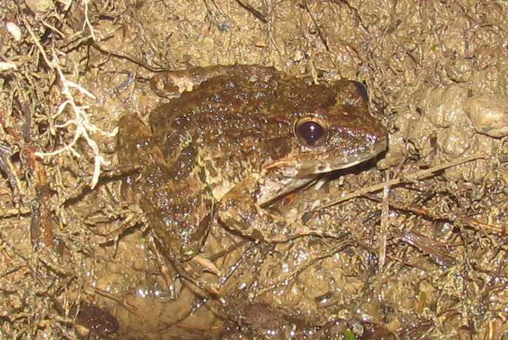 luzon fanged frog limnoenctes macrocephalus at lilok tanay rizal