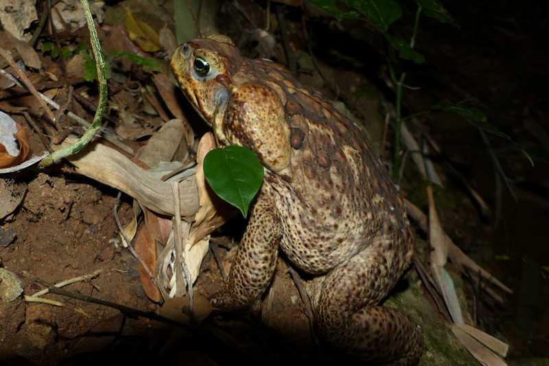 Cane Toad at Lilok Tanay Rizal Rhinella marina philippines manila