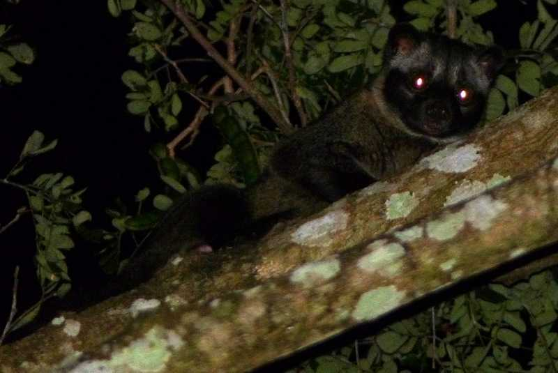 Asian Palm Civet Paradoxurus hermaphroditus musang in the forest of lilok tanay rizal near manila philippines