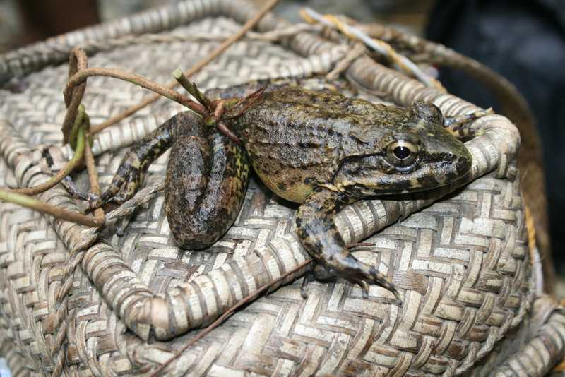 Luzon Fanged Frog limnonectes macrocephalus caught for food in Nueva Vizcaya (©Tony Gerard)