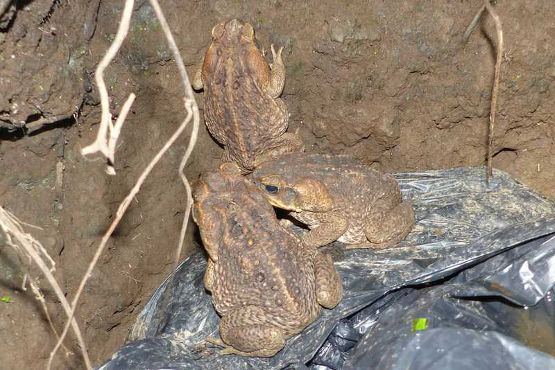 Cane Toad at rizal recreation center Rhinella marina philippines manila