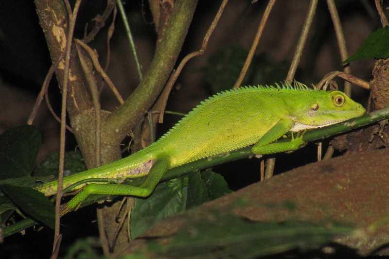 Green Crested Lizard - Bronchocela cristatella laguna philippines near manila
