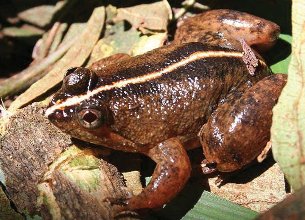 Common Puddle Frog (Photo by Merlijn van Weerd ZooKeys 266: 1 via wikipedia)