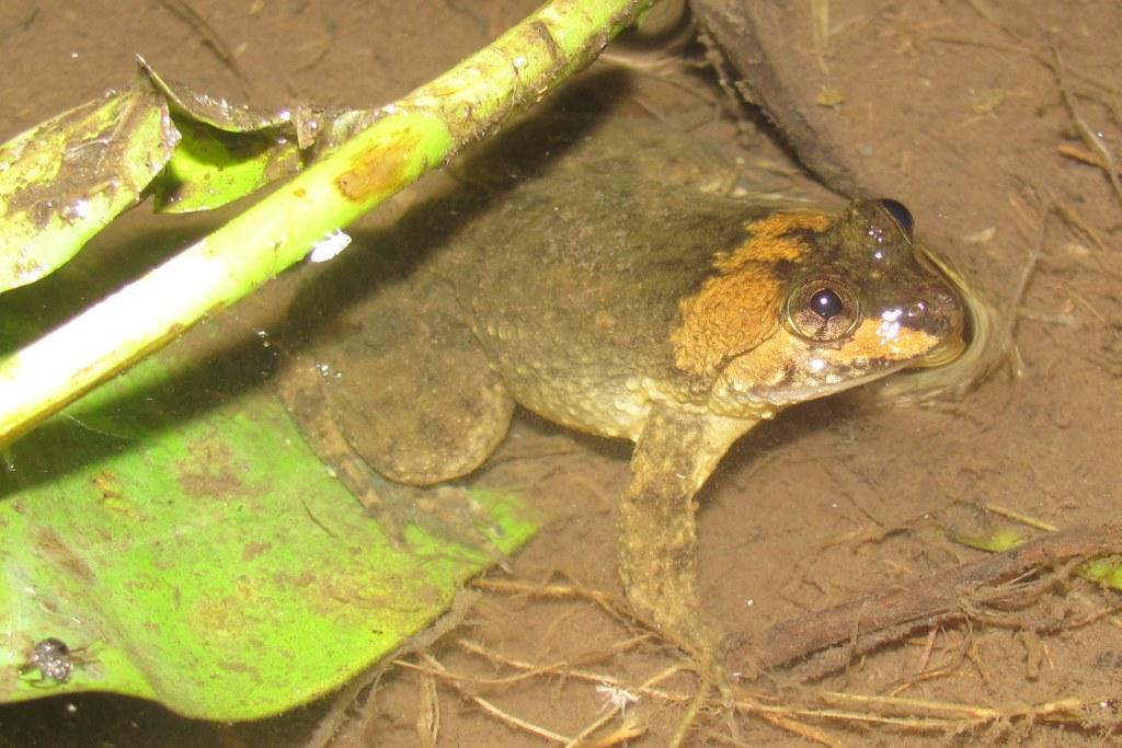 Common Puddle Frog Occidozyga laevis Rizal Laguna Philippines Manila