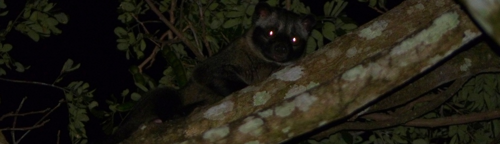 mammal asian palm civet in tanay at lilok farm in rizal philippines