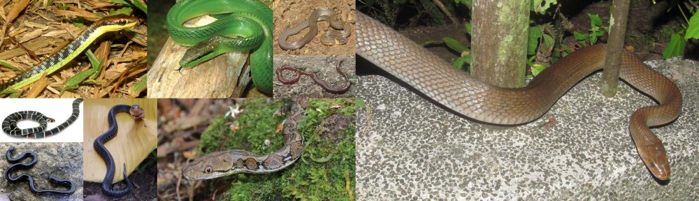 snakes of tanay at lilok farm in rizal, philippines