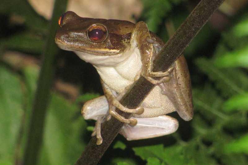 four-lined treefrog common treefrog Polypedates leucomystax tanay rizal philippines