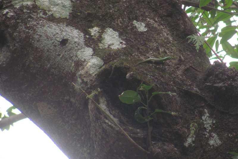 Emerald Tree Skink (Lamprolepis smaragdina) tanay rizal philippines