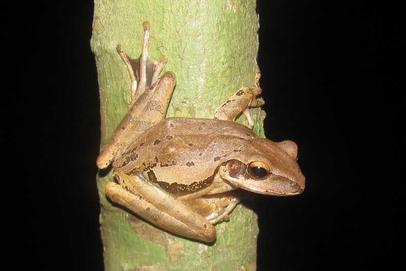 common treefrog Polypedates leucomystax tanay rizal philippines