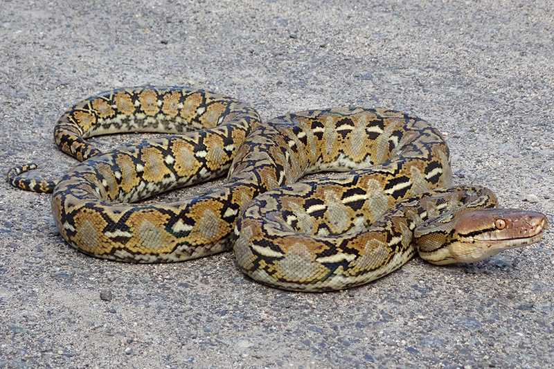 Matthew Kwan Subic Bay reticulated python Malayopython reticulatus manila philippines