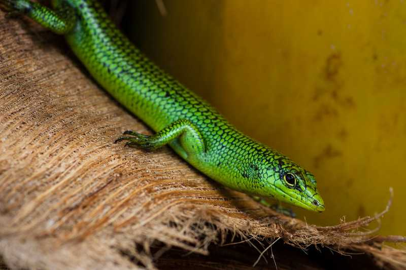 Emerald Tree Skink (Lamprolepis smaragdina)