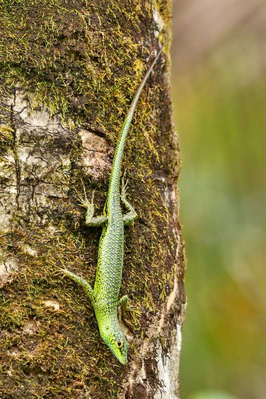 Emerald Tree Skink (Lamprolepis smaragdina) micronesia