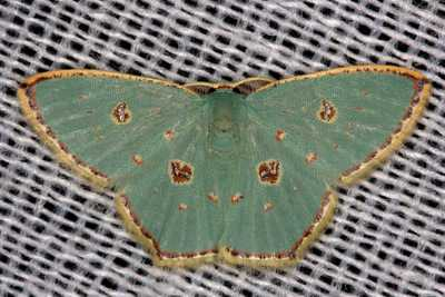 Comostola meritaria moth philippines gernot kunz