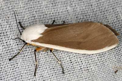 highcompress-Creatonotos wilemani moth philippines gernot kunz