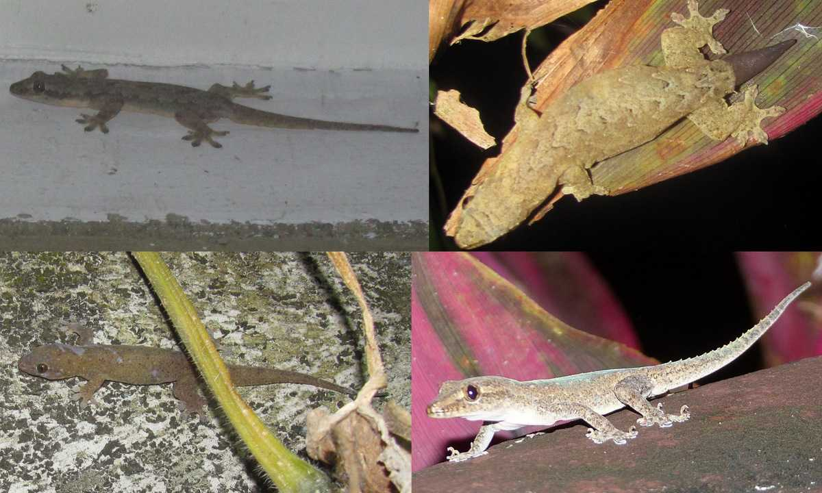 Geckos photographed at the Rizal ReCreation Center. Clockwise from top left they are a Flat-tailed House Gecko, Mourning Gecko, Common House Gecko, and Four-clawed Gecko