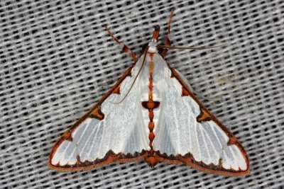 highcompress-Genus Cirrhochrista moth philippines gernot kunz