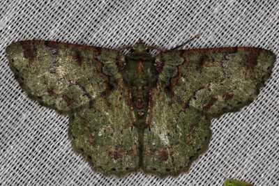 highcompress-Genus Herochroma moth philippines gernot kunz