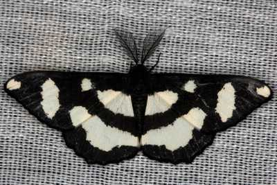 highcompress-Genus Hyposidra moth philippines gernot kunz