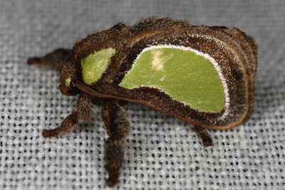 highcompress-Genus Parasa moth philippines gernot kunz