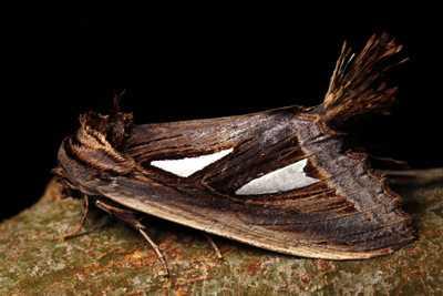 highcompress-Genus Tarsolepis moth philippines gernot kunz