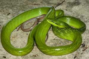 Red-tailed Green Trinket Snake Gonyosoma oxycephalum india