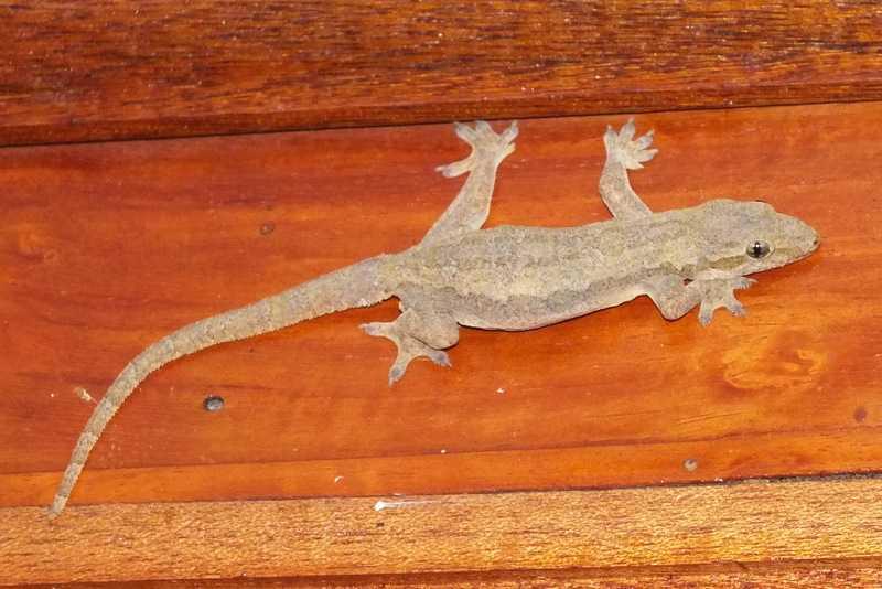 flat-tailed house gecko Hemidactylus platyurus batangas tony gerard philippines