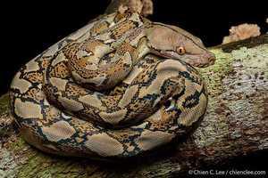 Chien Lee malaysia Reticulated Python Malayopython reticulatus