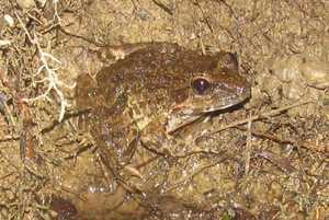 luzon fanged frog limnonectes macrocephalus tanay rizal near manila philppines
