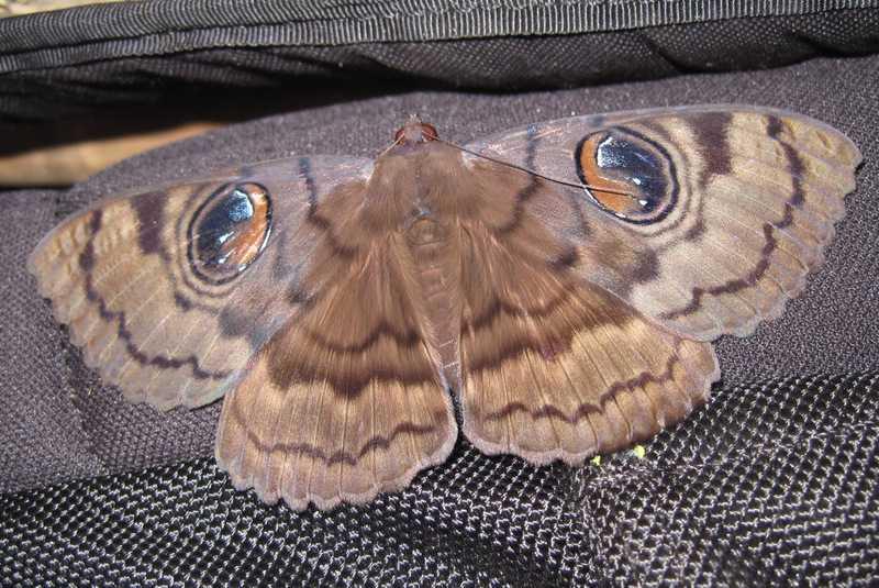 owl moth Erebus nyctaculis liloc tanay rizal philippines