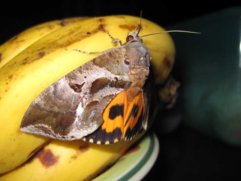 Common Fruit-Piercing Moth Eudocima phalonia tanay rizal philippines