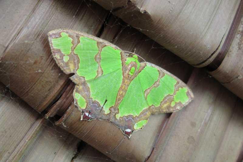 emerald moth Agathia liloc tanay rizal philippines