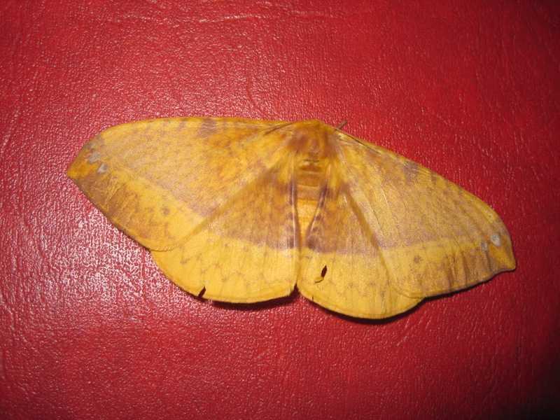 monkey moth eupterote at rizal tanay philippines