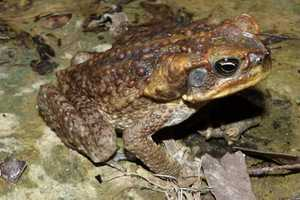 cane toad palakang tubo