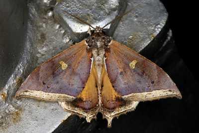 highcompress-Pterocyclophora huntei moth philippines gernot kunz