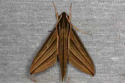 highcompress-Sphinx Moths Family Sphingidae moth philippines gernot kunz