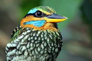 Spotted Wood Kingfisher philippines
