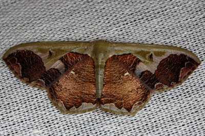highcompress-Zythos turbata moth philippines gernot kunz