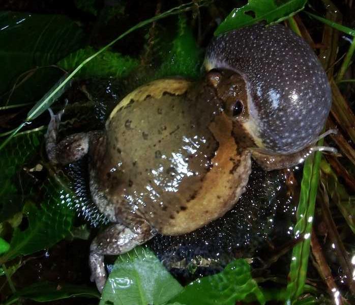 Asian Painted Frog asian painted frog calling Kaloula pulchra banded bullfrog chubby frog nueva vizcaya tony gerard