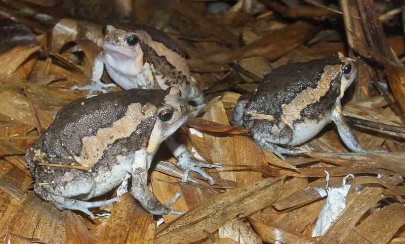 asian painted frog Kaloula pulchra banded bullfrog chubby frog la union tony gerard philippines
