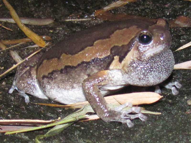 Asian Painted Frog asian painted frog Kaloula pulchra banded bullfrog chubby frog bangkok thailand