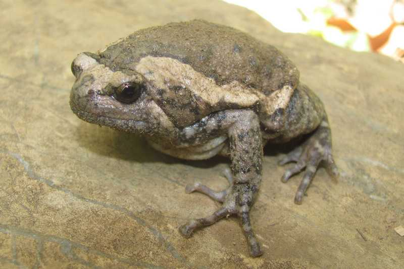 asian painted frog Kaloula pulchra banded bullfrog chubby frog lilok farm tanay rizal philippines near manila