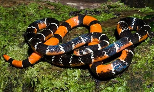 Calliophis Barred Coral Snake Hemibungarus calligaster philippines