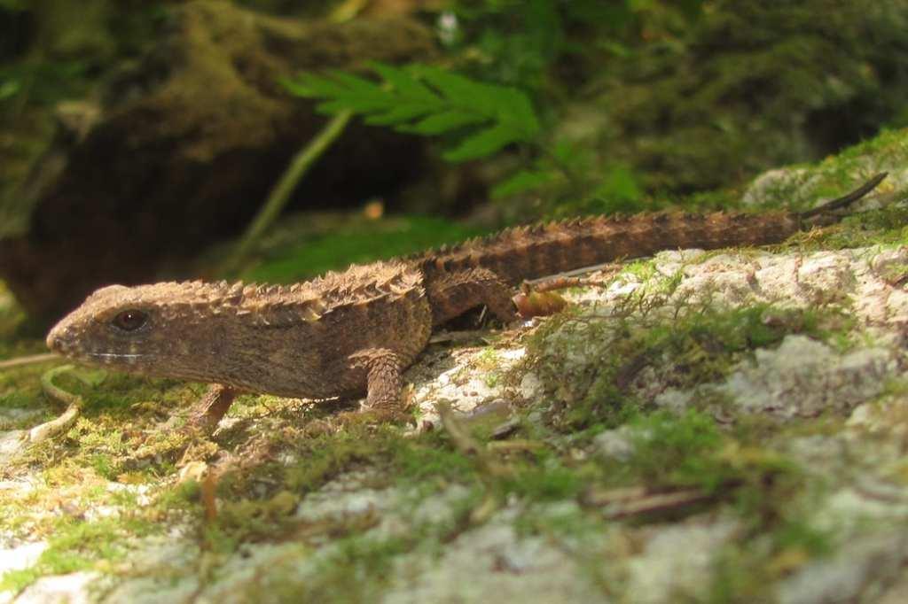 Tropidophorus grayi philippines spiny stream skink rizal tanay waterside skink